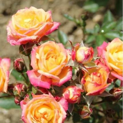 Роза бордюрная Литл Сансет класс А