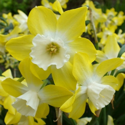 Нарцисс многоцветковый Pipit 10/12