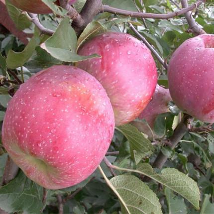 Яблуня Флоріна 1 клас