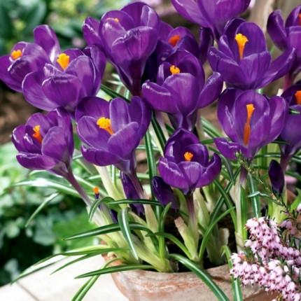 Крокус великоквітковий Flower Record 7/8