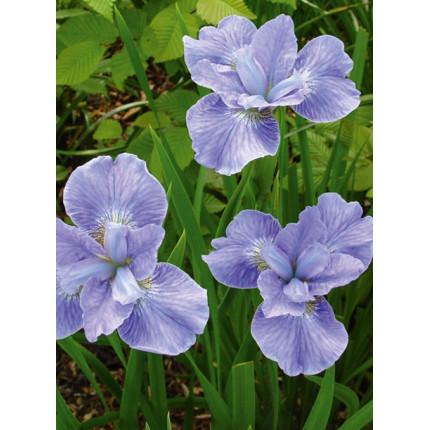 Ірис sibirica Soft Blue