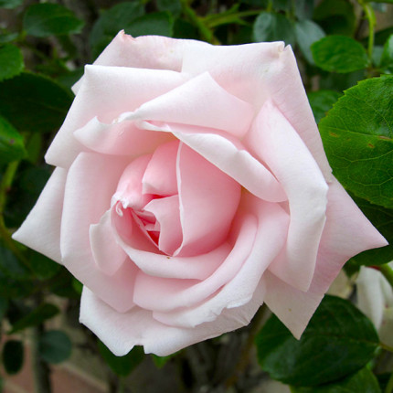 Роза штамбовая Нью Даун 1 прививка