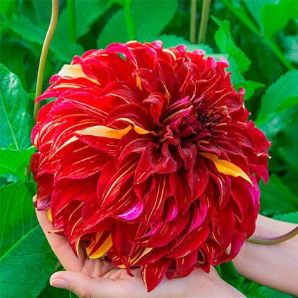 Жоржина з гігантською квіткою Bohemain Spartacus