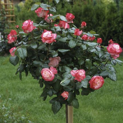 Троянда штамбова Tantau Ностальжи (Nostalgie) 1 прививка