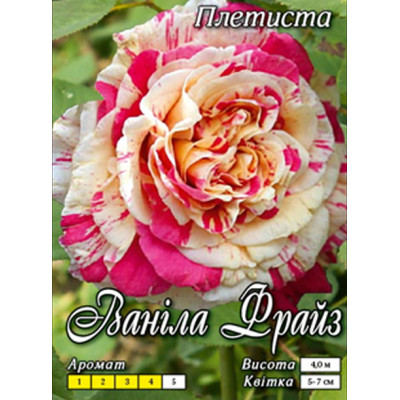 Роза плетистая Ванила Фрайз класс АА - оптом