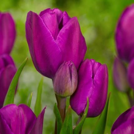 Тюльпан Багатоквітковий Purple Bouquet 11/12