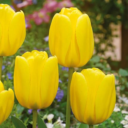 Тюльпан гібрид Дарвіна Golden Apeldoorn 12/+