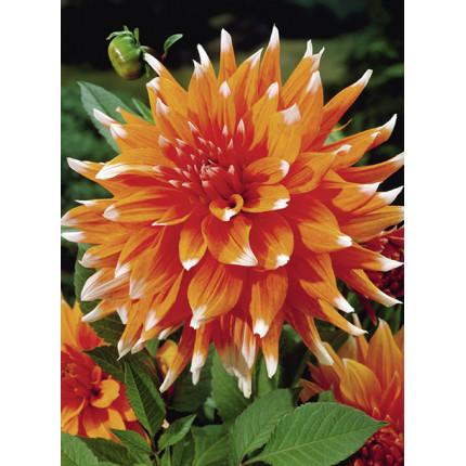 Жоржина кактусова Color Spectacle