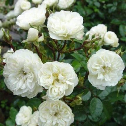 Роза бордюрная Грин Айс (контейнер)
