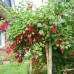 Смородина штамбовая красная Святкова - оптом