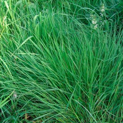 Трава многолетняя Райграсс Обрий 1кг - оптом