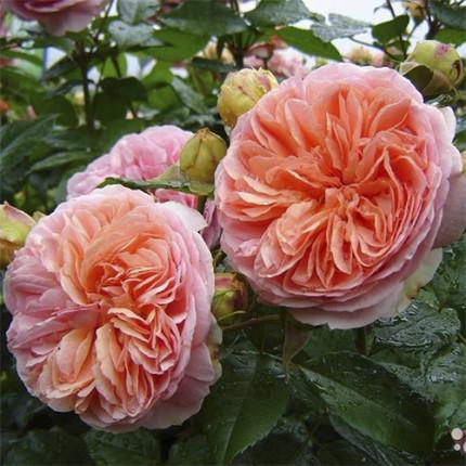 Троянда штамбова Tantau  Чиппендейл (Chippendale) 1 прививка
