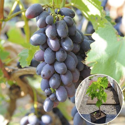 Виноград Кодрянка (контейнер)