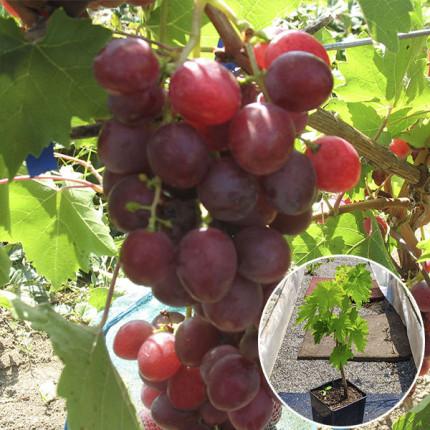 Виноград Изумление (контейнер 2л)