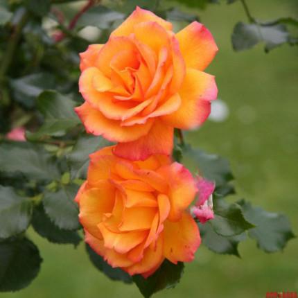 Троянда штамбова Повний місяць 1 прививка