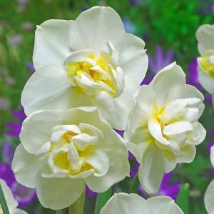Нарциси Багатоквіткові