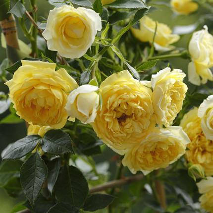 Роза штамбовая Tantau Старлет Роуз Элида (Starlet Rose Elida) 2 прививки