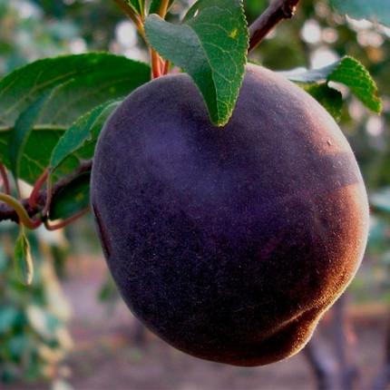 Абрикос Черный персиковый 1 класс