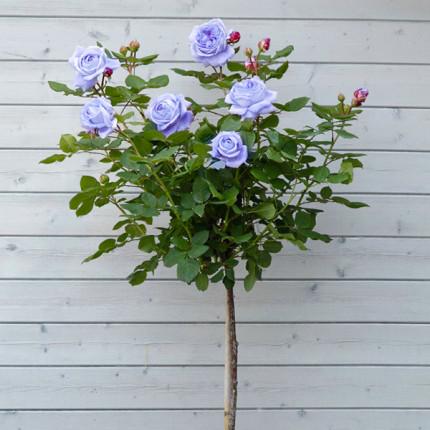 Роза штамбовая Голубой Нил 2 прививки