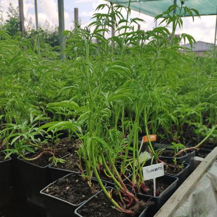 Пион травянистый Primevere (контейнер 2.5л)