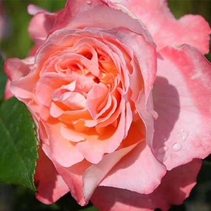 Роза штамбовая Tantau Августа Луиза (Augusta Luise) 2 прививки