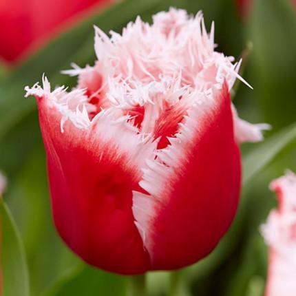 Тюльпан бахромчатый New Santa 12/+