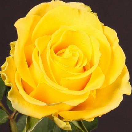 Троянда ч/г Пенні Лейн (контейнер)