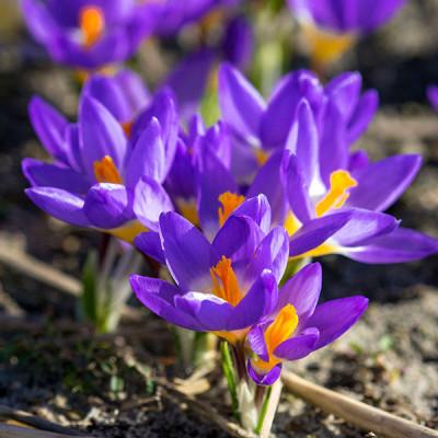 Крокус ботанический Tricolor 5/7 - оптом