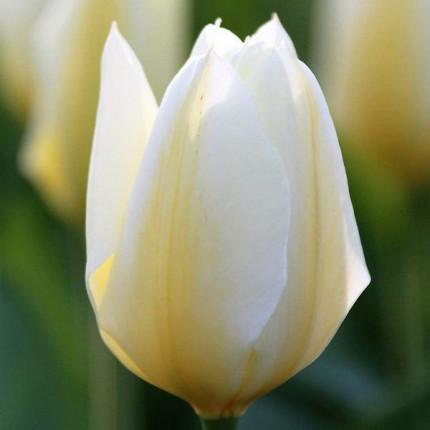 Тюльпан гибрид Фостера Purissima 11/12