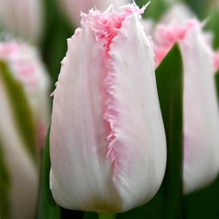 Тюльпан бахромчатый Haiti 12/+