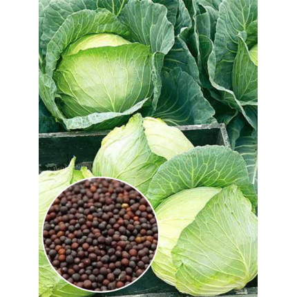 Капуста Белоснежка весовая (семена) 1 кг