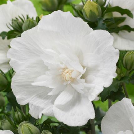 Гибискус сирийский махровый White Chіffon (контейнер 0.5л)