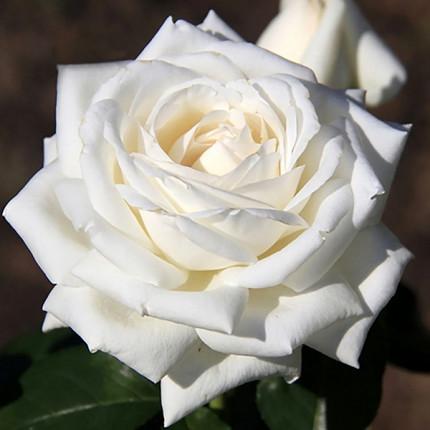 Роза штамбовая Боинг 1 прививка