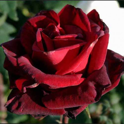 Роза штамбовая Tantau Баркароле (Barcarole) 2 прививки