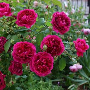 Розы Английские в контейнере (горшок)