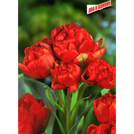 Тюльпан Махровый + Многоцветковый Toronto Double 11/12
