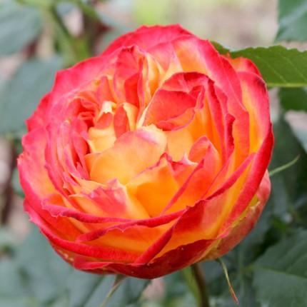 Роза штамбовая Вулканика 2 прививки