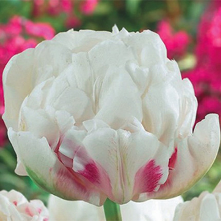 Тюльпан Махровый Ice Wonder 10/11