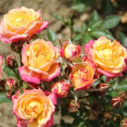 Троянда штамбова Літл Сансет 1 прививка
