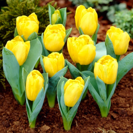 Тюльпан Махровый Yellow Baby 10/11
