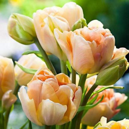 Тюльпан Махровый + Многоцветковый Charming Lady 10/11
