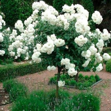 Троянда штамбова Свані 1 прививка