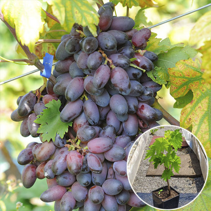 Виноград Эталон (контейнер 2л)
