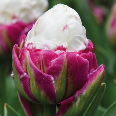 Тюльпан Махровый Ice Cream 11/12 - оптом