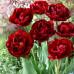 Тюльпан Махровый Antraciet 10/11 - оптом