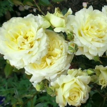 Роза английская плетистая Эльф класс А