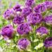 Тюльпан Махровый EXQUISIT 10/11 - оптом