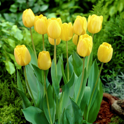 Тюльпан гібрид Дарвіна Golden Oxford 12/+