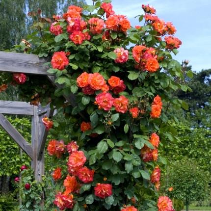 Троянда паркова Вестерленд клас А