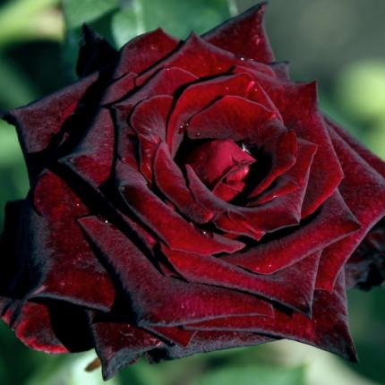 Троянда штамбова Блек Баккара  1 прививка